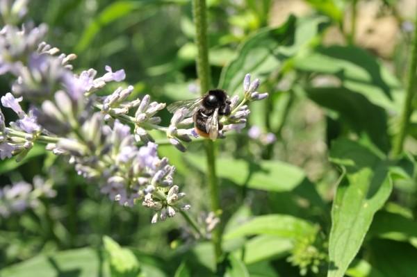Lavendel ist ein Bienenmagnet, hilft damit die Artenvielfalt im Garten zu fördern