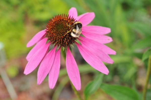 Echinacea und viele anderen Blumen und Kräuter liefen Insekten Nahrung