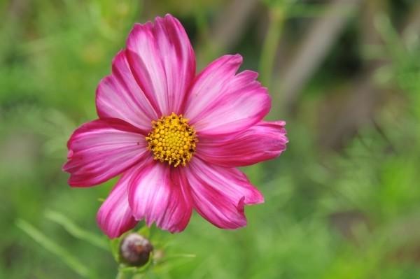 Cosmeen oder Schmuckkörbchen einfach aus Samen selber ziehen für Beet und Balkongarten