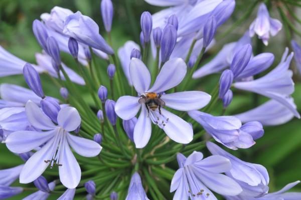 Schmucklilie_im Topfgarten tolle Bienennektarpflanze 600