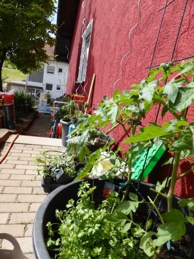 Tomaten Auf Dem Balkon. tomaten pflanzen auf dem balkon balkon hause. tomaten auf dem balkon ...