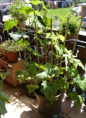 Gurken selbst aussäen für das Beet und den Balkongarten