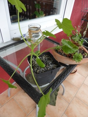 Gurken. Zucchini und Kürbis selbst aussäen für das Beet und den Balkongarten