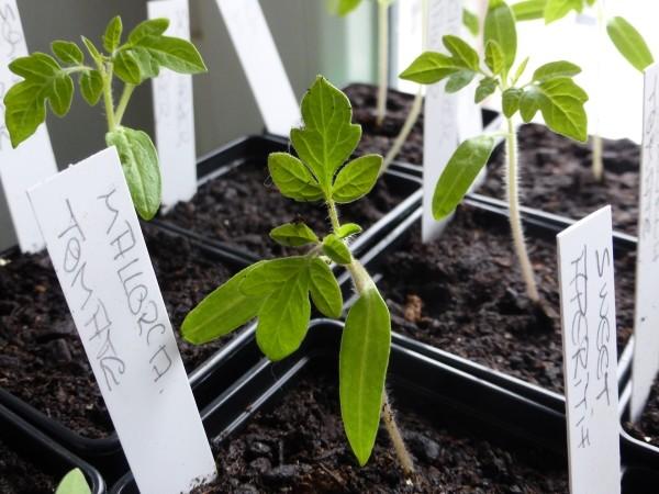 Tomaten selber ziehen und Setzlinge umtopfen.