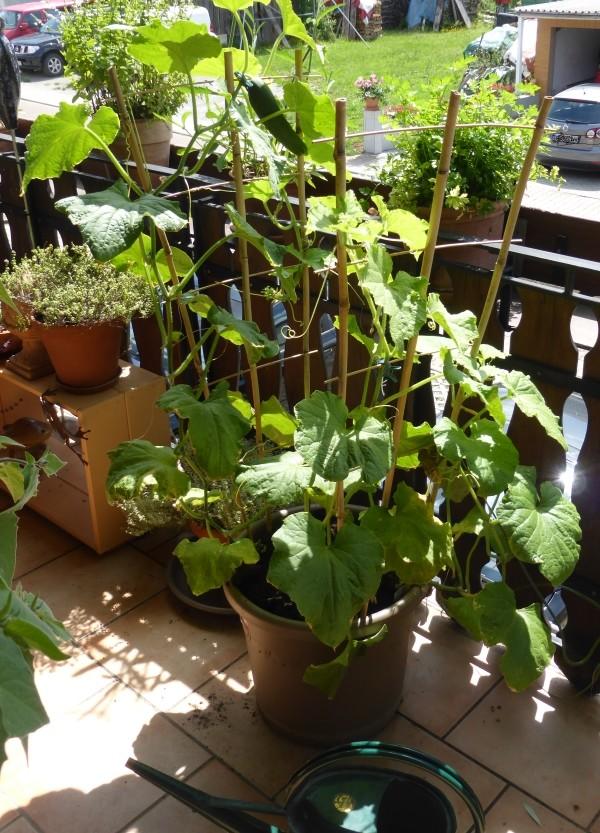 Erbsen Pflanzen Garten Pflege Tipps