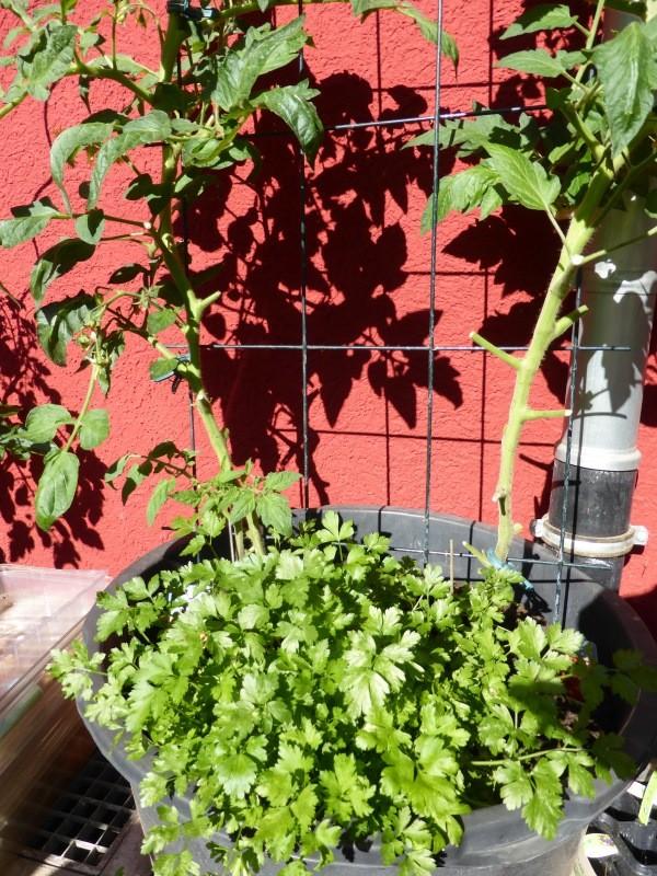 anleitung zum tomaten pflanzen ausgeizen und bl tter entfernen. Black Bedroom Furniture Sets. Home Design Ideas