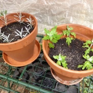 geranien stecklinge garten balkongarten genussblog. Black Bedroom Furniture Sets. Home Design Ideas