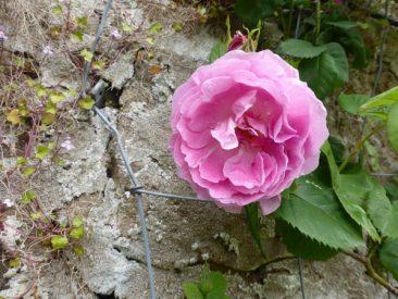 Und wer ein Rankgerüst, Gartenhaus, einen alten Obstbaum oder eine Wand mit Kletterhilfe hat: Kletterrosen, klassisch für den Cottagegarten, machen sich super im Bauerngarten.