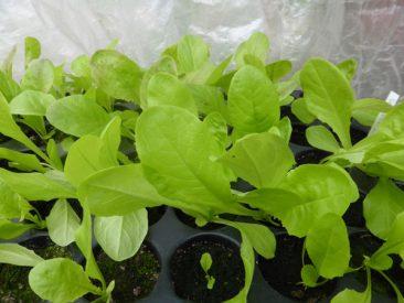 Das Schöne: Man kann vieles selbst aus Samen ziehen. Ob Salat,...