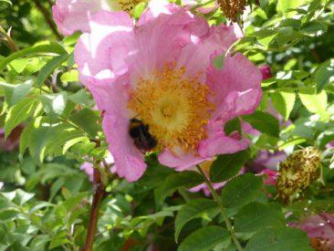 Ein wahrer Nektarspender wird immer seltener: Tolle, üppig wachsende Wildrosen.