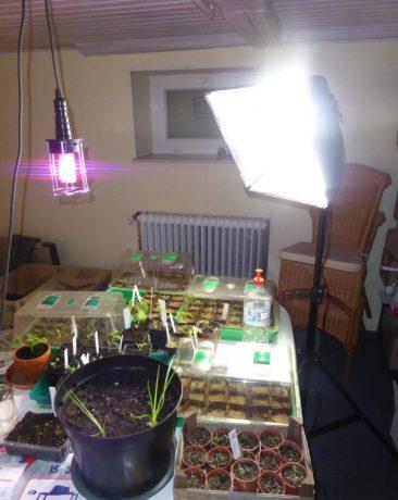 Hier in einem Kellerabstellraum: Egal wie hoch man die rot-blaue Pflanzenlampe hängte - also ohne weiteres Licht - es passiert nichts. Kein Wachstum. Als der Tisch letzten Winter später komplett voll mit Anzuchtschalen war: Die 2 Fotoleuchten mit Tageslichtlampen haben mehr als 150 Setzlinge toll wachsen lassen.