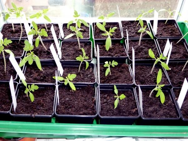 Aussaatkalender im März: Welches Gemüse für Beet und Balkongarten gesät wird wie Tomaten.