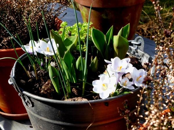 Blumenzwiebeln pflanzen im Garten und als Blumenzwiebel Lasagne im Topfgarten