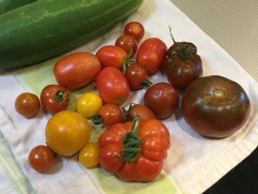 Das ernten wir Mitte Juli fast täglich. Gerade bei großen Sorten ist das sehr früh! Und 14 Tage später wurde mehrmals die Woche ein Korb voll Tomaten geerntet; 2017 war das beste Tomatenjahr. Auch wenn in vielen Gartengruppen Gegenteiliges zu hören war. Es hatte definitiv mit den gut ausgebildeten Tomaten zu tun. Übrigens wurden im Juli auch die ersten Paprika und Chili reif...