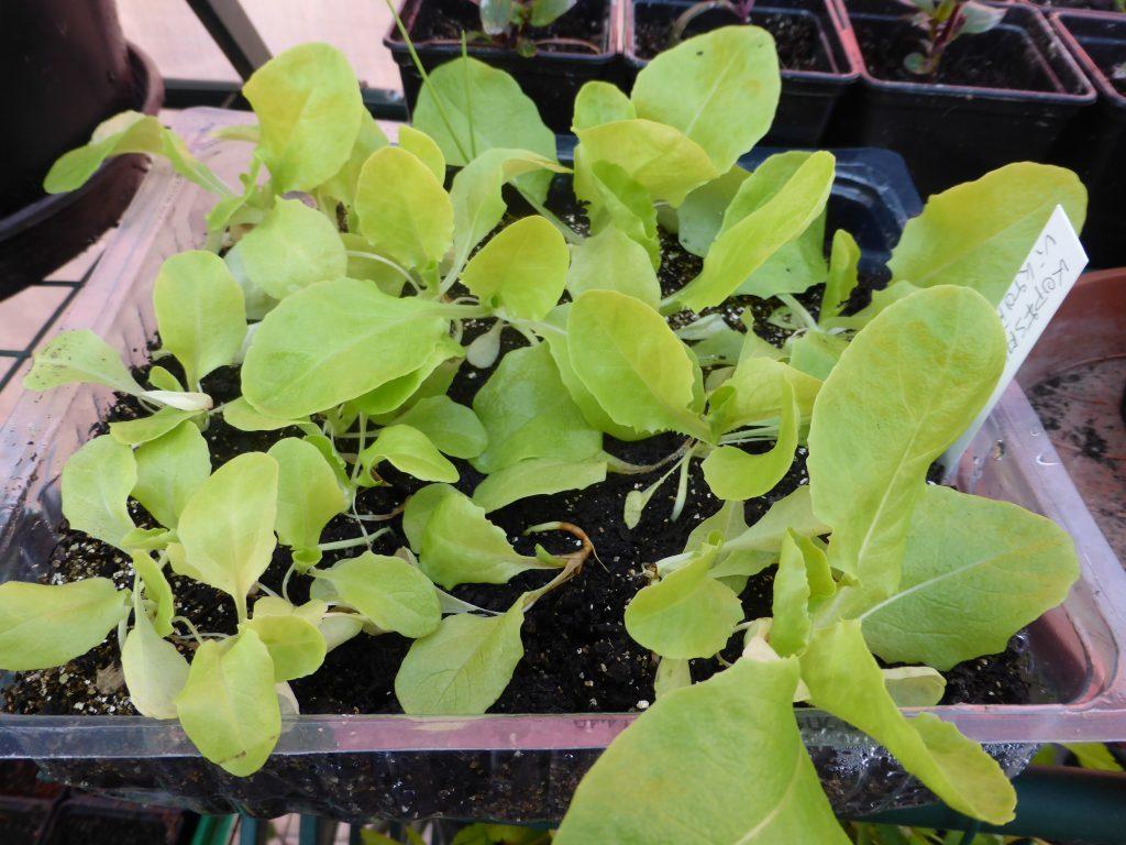 Salat vorziehen auf der Fensterbank zum Beispiel: Früher Kopfsalat Viktoria später gesät Ende April
