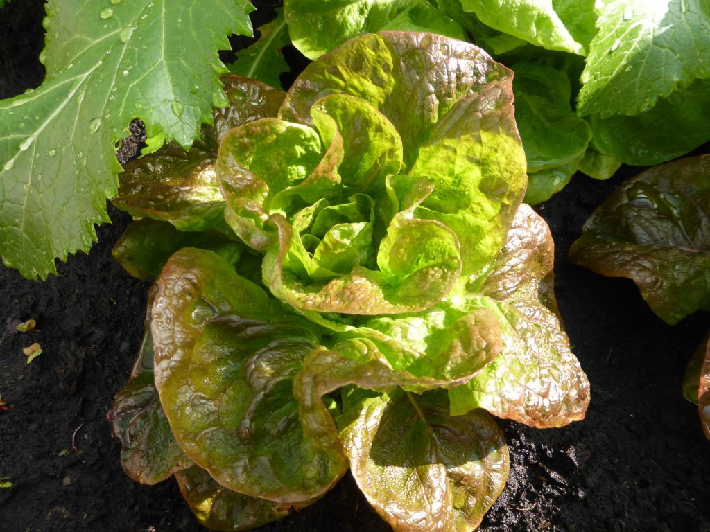 Salat säen wie Winterkopfsalat und Asiasalat, und fast das ganze Jahr eigenen Salat genießen