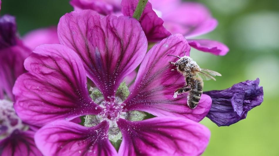 EIngepuderte-Biene-an-Algiermalve-1