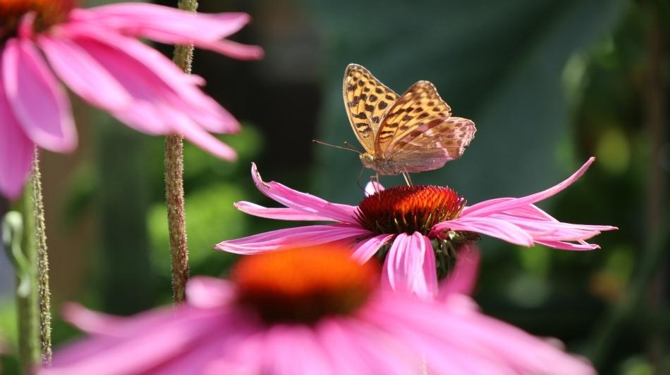 Echinacea gute Pollenpflanze Nektarpflanze für Bienen Hummeln und Schmetterölinge