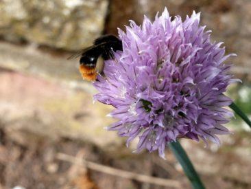 Aussaat und Gartenarbeit im Juni Schnittlauch Samen sammeln