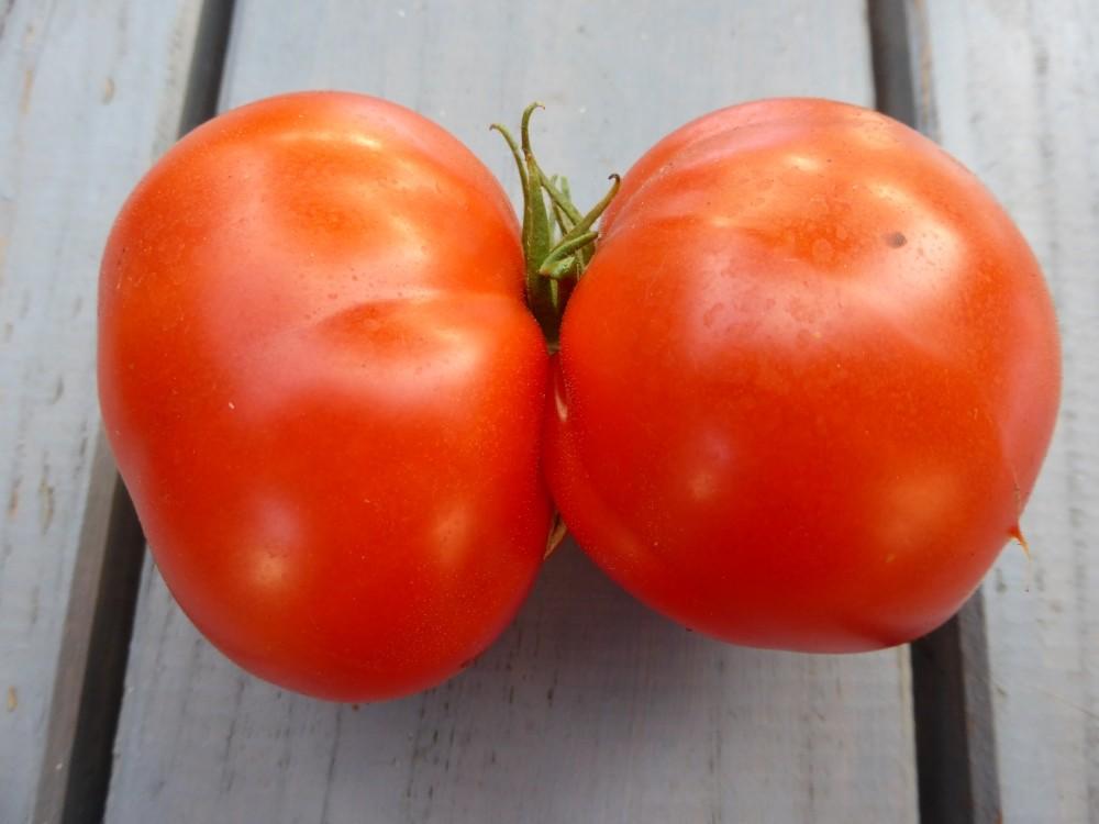 Tomaten pflanzen im Garten und auf dem Balkon, natürlich düngen und vor Krankheiten schützen
