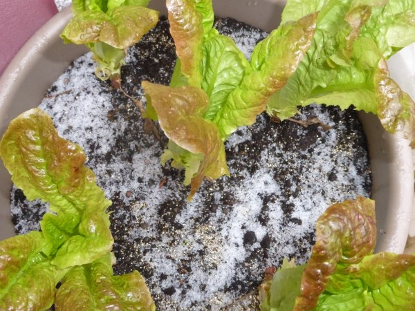 Salat im Winter_600