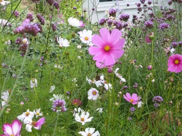 Sommerblumen säen wie die Cosmeen oder Schmuckkörbchen ist einfach. Hier mit Verbena bonariensis, das Hohe Eisenkraut. Eine etwas frostempfindliche Staude, die man absolut einfach aus Samen ziehen kann und die sich aussamt.