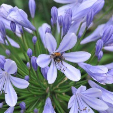 Pflegetipps für Schmucklilien und Blütenpracht fördern