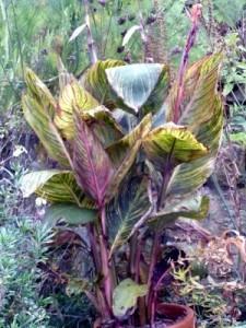 Topfpflanzen überwintern: So geht es auch bei Canna oder Blumenrohr