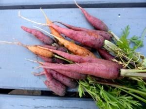 Rote Karotten und anderes Biogemüse aus Samen selber ziehen