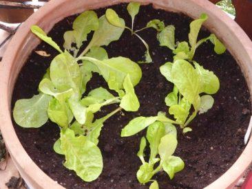 Wintersalat: Winterkopfsalat Arctic King, der bei einem Test sogar im Januar auf der Fensterbank keimte und im überdachten Hochbeet das ganze Frühjahr super zarten Kopfsalat lieferte. Ernte ist ab etwa Ende März.