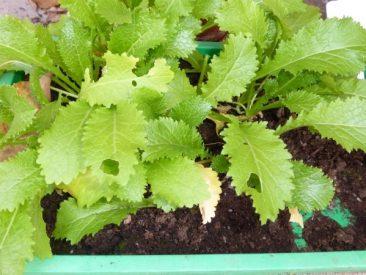 Salat auf kleinstem Raum: Hier der Wintersalat Green in the Snow, nochmals Ende September gesät in einer Anzuchtschale. Das war ein Test im letzten Jahr. Der Wuchs ist nicht so groß, klappte aber wunderbar.