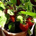 Paprika und Chili selber ziehen aus Samen Anleitung und Anbautipps