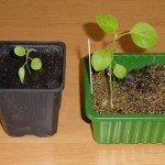 Auberginen aus Samen ziehen und richtig pflanzen
