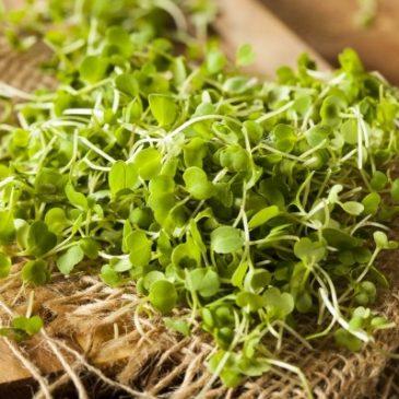 Micro Greens - aus Samen auf der Fensterbank gezogenes Superfood