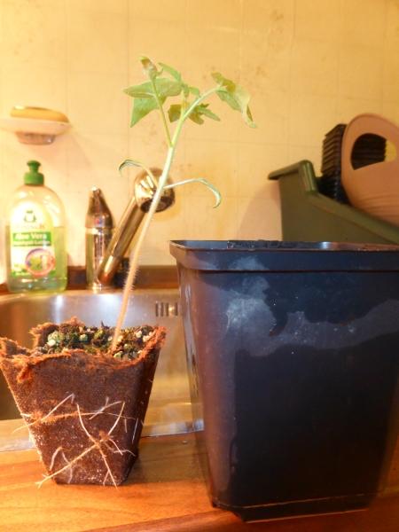 Tomatensetzlinge umtopfen