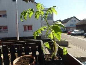Tomaten selber ziehen, Pflege und pflanzen ab wann