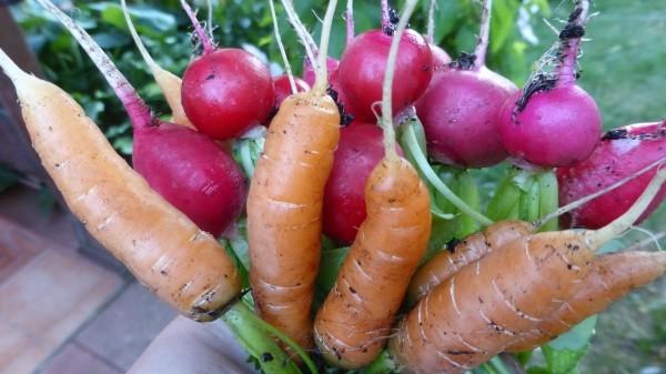 Das beste Gemüse für Anfänger, bei wenig Zeit und auch für den Topfgarten