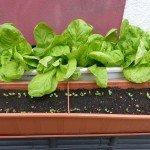 In jeden Gemüsegarten gehört einfach Salat. Von Februar bis September kann man sich das zart-knackige Grün aussäen. Ober zumindest Salatköpfe als gekaufte Setzlinge pflanzen. Hier, wiederum, auch im Blumenkasten. Der Winterkopfsalat (ausgesät im Herbst 2013) war im April 2014 erntereif, dann wurde so langsam Pflücksalat ausgesät. Gelingt selbstredend im Gemüsebeet genauso gut.