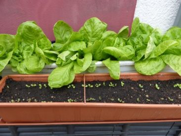 Das beste Gemüse für Anfänger, wenn man wenig Zeit hat und den Balkonggarten: Dabei ist Salat