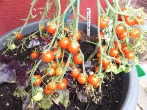Des Deutschen liebstes Gemüse (eigentlich ja eine Frucht): Die geliebte Tomate gedeiht hervorragend im Topf, wenn man einiges beachtet (siehe Anbautipps am Ende des Textes). Basilikum wie hier gleich hinzu pflanzen - zwei Partner, die sich mögen und genial zusammen schmecken.