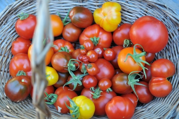 Tomaten ernten und Aussaatkalender für den August im Garten und auf dem Balkon