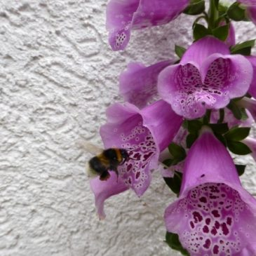 Fingerhut und andere zweijährige Pflanzen im Juni & Juli aussäen