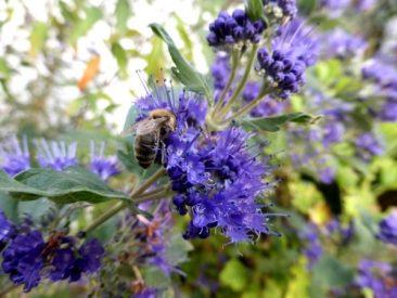 Bartblume, dieser über und über im Spätsommer blühende kleine Strauch und Bienenmagnet ist, wie viele Sträucher, sehr gut zum Schneiden von Stecklingen.
