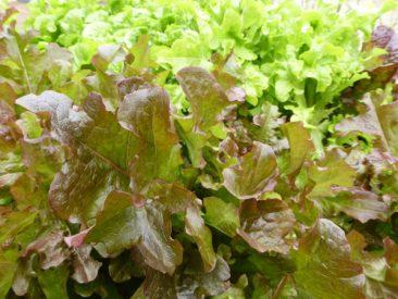 Kaum gesät oder in Form von Setzlingen gepflanzt, da geht es ans Ernten. Knackig-frische Salate,