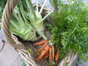 Kohlrabi oder Karotten sind nicht schwer im Anbau.
