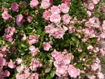 Auch schön im Bauerngarten: Strauchrosen, die bis weit in den Herbst blühen.