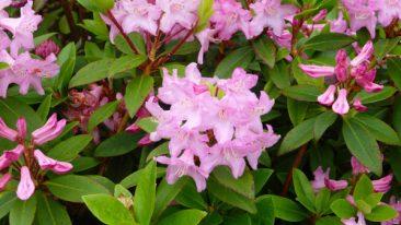 Rhododendron ist ein schöner Strauch für eher schattige Ecken im Bauerngarten, der im Frühjahr ein schön blühender Nektarspender ist.