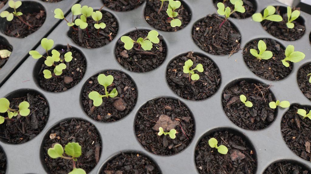 Asiasalat von August bis Oktober als Wintersalat aussäen