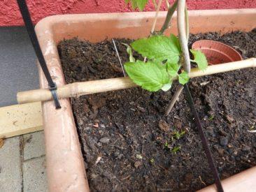 Tomatenpflanzen im Topfgarten richtig fixieren. So geht es, selbst auf windigen Balkonen.