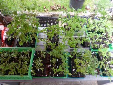 Mai 2015. Etwas arg viel Tomatenpflanzen :-) Fanden allerdings alle Abnehmer.